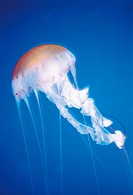 Purple-striped Jellyfish (Pelagia colorata). Monteray Aquarium. USA