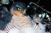 Sparrowhawk (Accipiter nisus) at nest