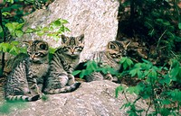 Young wildcats (Felis silvestris) in captivity. Bavarian Forest. Bavaria, Germany