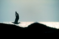 Silhouette of gull. The Kattegatt Sea, Sweden.