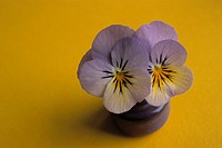 Two Purple/yellow Pansies