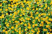 Yellow Creeping Zinnia