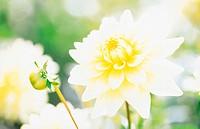 One White Dahlia