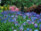 Pink Rhododendrons, Blue Blue Poppies