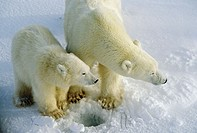 Polar bear (Ursus maritimus) sow and cub. Cape Churchill, near the Arctic circle