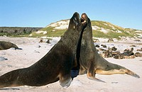 New Zealand Sea Lions (Phocarctos hookeri) fighting for breeding rights. Enderby Island, New Zeland