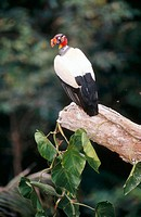 King Vulture (Sarcoramphus papa).  Ese'eja Native Lands. Peruvian Amazon