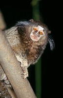 Black-tufted-eared Marmoset (Callithrix penicillata). Barra Mansa Atlantic rainforest. Brazil