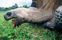 Galápagos Giant Tortoise (Geochelone elephantopus vandenburghi). Isabela Island, Galapagos Island, Ecuador