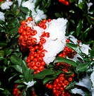 botany, Scarlet firethorn, Pyracantha coccinea, fruits, winter, snow_covered, snow, red, berry, berries, shrub, Rosaceae, Maloideae,