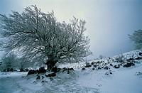 Snowy beech. Sierra de Urbasa. Navarre. Spain