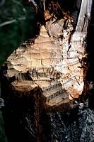 Zoologie, Säugetiere, Biber (Castor canadensis), abgenagter Baum, Verbreitung: Eurasien und Kanada  canada, europa, asien, fraßstelle, nagen