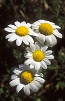 Camomile (Chamaemelum fuscatum)