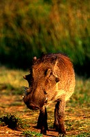 Warthog, Midlands, KwaZulu Natal, South Africa