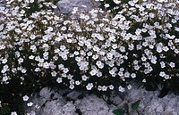 Flore Pleno (Silene alpestris)