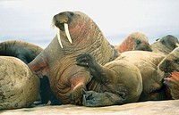 Atlantic walrus (Odobenus rosmarus rosmarus) group on ice floe. Arctic and Subarctic waters