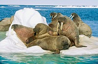 Atlantic walrus (Odobenus rosmarus rosmarus) group sleeping with pup. Arctic and Subarctic waters