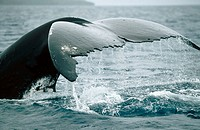 Humpback whale (Megaptera novaeangliae) tail flukes. Breeding migration from Polar to Tropics. All oceans