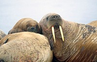 Atlantic walrus (Odobenus rosmarus rosmarus) mother and pup. Arctic and Subarctic waters