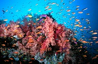 Soft corals (Dendronephthya sp.) and anthias fish (Anthias sp.) over coral reef