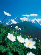 Berne, Canton Bern, Eiger, flowers, Jungfrau, meadow, Monch, mountain meadow, mountains, nature, scenery, landscape,