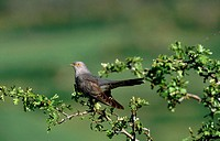 Cuckoo (Cuculus canorus)