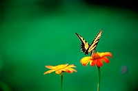 Tiger Swallowtail butterfly (Papilio glaucus) on tithonia flower