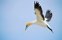 Landing cape gannet (Morus capensis) and blue sky at Bird Island. Lambert's Bay. South-Africa