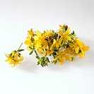 Flowers of St. John´s wort