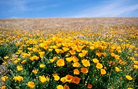 field of California poppies, Antelope Valley, Mojave Desert, California, USA