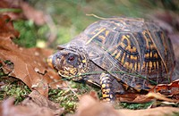 Tortoise and fallen brown leaves