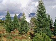 Spanish Firs (Abies pinsapo)