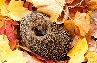 Hedgehog (Erinaceus europaeus), Germany