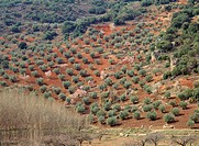 Olive trees in Alcaraz mountain range. Albacete province, Spain