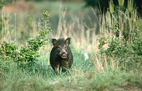Wild Boar (Sus scrofa). Germany