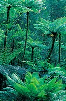 Tree Ferns in Rainforest, Tarra Bulga National Park, Victoria, Australia
