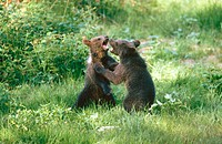 Young Brown Bears playing (Ursus arctos)