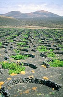 Vineyards growing on volcanic ashes. La Geria (Timanfaya NP in background). Lanzarote. Canary Islands. Spain