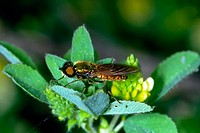 Soldier-fly, Chloromyia formosa