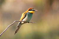 European Bee Eater (Merops apiaster). Spain