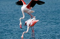 Greater Flamingo (Phoenicopterus ruber) mating