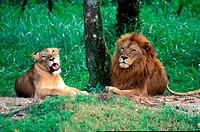 Lion and lioness, Malaysia