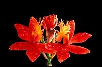 Epidendrum Joseph Lii orchids