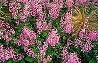 Fairy Primrose (Primula malacoides)
