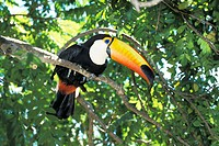 Toco Toucan (Ramphastos toco), captive. Pantanal, Brazil