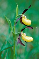 Yellow Lady´s Slipper (Cypripedium calceolus). Germany