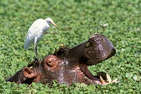 Hippopotamus (Hippopotamus amphibius) and Cattle Egret (Ardeola ibis). Serengeti National Park. Tanzania