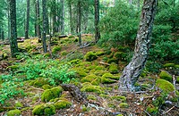 Forest along Stuart Fork. Trinity Alps Wilderness, Trinity National Forest. Trinity County. California