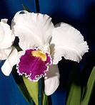 Orchid (Laeliocattleya sp.)