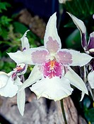 Orchid (Odontioda sp.)